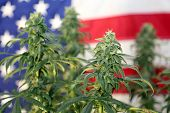 Shallow Depth of Field View of a Marijuana Plant in front of an American Flag. Female Marijuana Flow poster