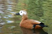 picture of ruddy-faced  - side view of Ruddy Shelduck swim in lake - JPG