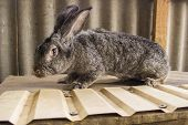 Agricultural Rabbits Are Very Beautiful And Attract Their Coloring Of Wool.home Rabbits Domestic Rab poster