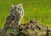 picture of screech-owl  - A capture of an Eastern Gray Screech Owl - JPG