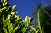 Sunny Tropical Greenery On Blue Sky Background. Tropical Plant With Green Leaves Closeup Photo. Bloo poster