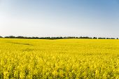 Endless Rapeseed Field. Rape Field. Yellow Rapeseed Fields And Blue Sky With Clouds In Sunny Weather poster