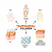 Collagen Is The Main Structural Protein In The: Connective Tissues, Cartilages, Bones, Nails, Derma  poster