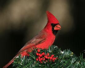 foto of cardinal-bird  - A northern cardinal posing on a Christmas wreath wit berries.  - JPG