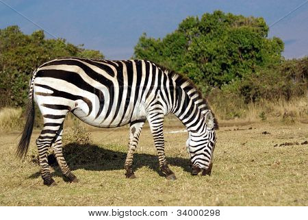 Wild Common Zebra Grazing