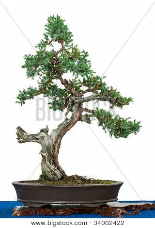 Flaky Juniper As Bonsai Tree