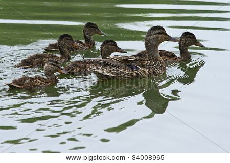 mallard duck with ducklings