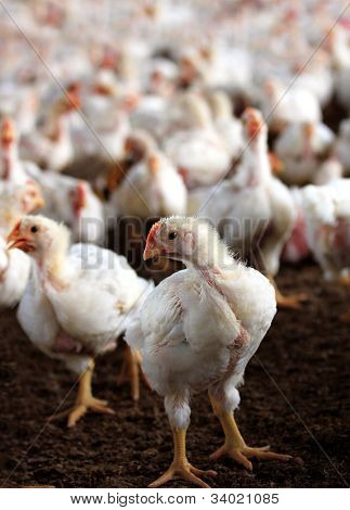 Young White Hen Looking At The Camera With A Group Of Other Chicken Behind It In A Poultry Farm Bred