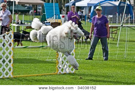 Oak Harbor, Wa - September 16:  White Poodle Competes At Dog Agility Show