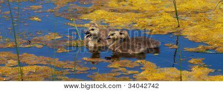 Gansos de Canadá bebé, Branta canadensis, en un lago