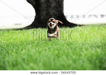 Chihuahua/Chiwawa Puppy smiling