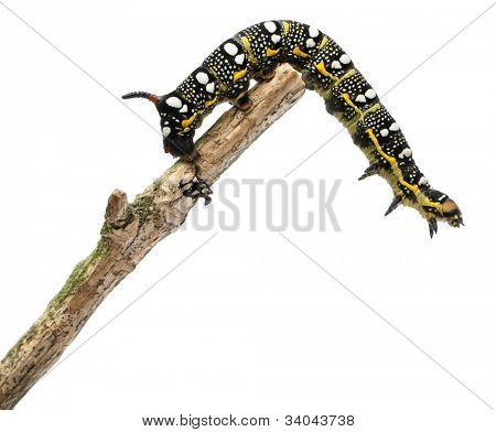 Spurge Hawk, Hyles Euphorbiae, caterpillar on branch against white background