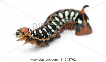 Spurge Hawk, Hyles Euphorbiae, caterpillar against white background