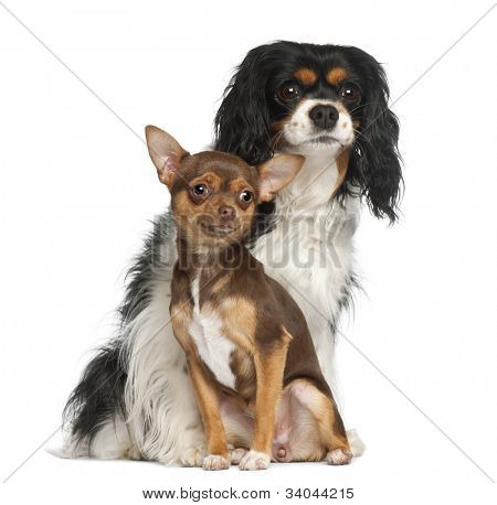 Chihuahua puppy, 6 months old and Cavalier King Charles Spaniel, 5 years old, sitting against white background