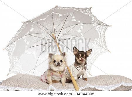 Chihuahuas, 2 years old and 4 years old, sitting under parasol against white background