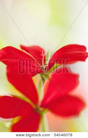 Geranium flower close up