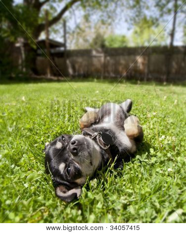 a tiny chihuahua lying in the grass