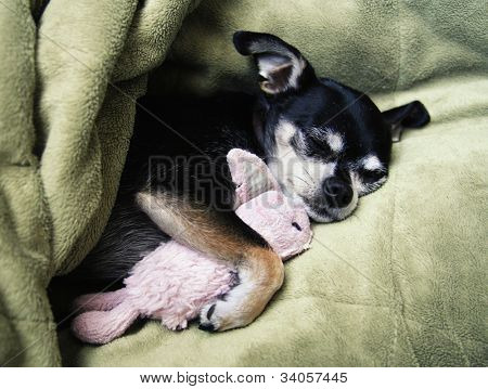 a tiny chihuahua cuddling with his pink bunny stuffed animal toy