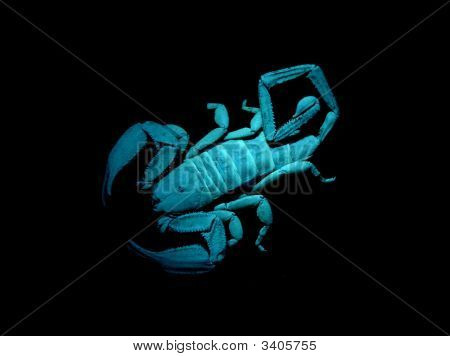Scorpion Under Blacklight.