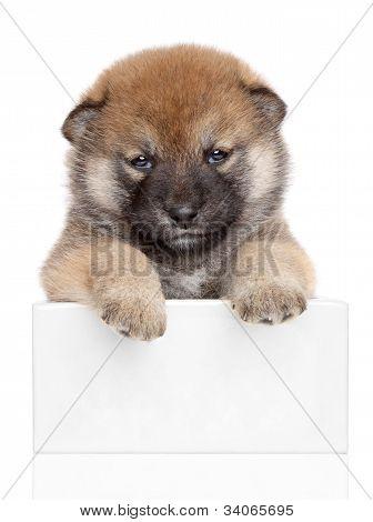 Shiba Inu Puppy On White Banner