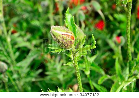 close view of poppy flower bud