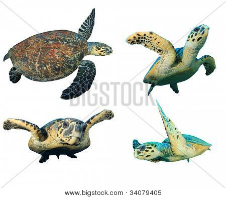 Hawksbill Sea Turtles isolated on white