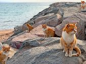 Red Cats On Sea Beach In Japan Island. Group Stray Ginger Cats On Blue Sea Rocks Background. Cute Re poster