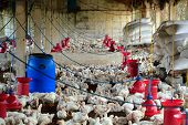 Poultry Farm With Many Domesticated Hen(fowl) Being Grown For Their Chicken Meat, Feathers And Eggs poster