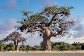 Majestic Tree Baobab, Adansonia Digitate, After Sunrise In Namibia Near Botswana Border. Africa Wild poster
