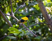 The Black-hooded Oriole (oriolus Xanthornus) Is A Member Of The Oriole Family Of Passerine Birds And poster