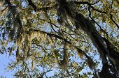 picture of tillandsia  - Large clusters of Spanish moss hanging from branches of tree - JPG