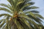 View Of Date Palm On Tree From Below.. Green Palm Trees On Coast Line. Amazing  Sky White Clouds And poster
