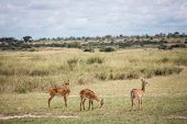 African Savannah In The Haze. Antelopes Graze In The Foreground poster