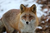 Fox Vulpes Vulpes In The Woods On Snow Background. Wild Red Fox In Natural Habitat. Portrait Of Carn poster