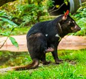Closeup Portrait Of A Tasmanian Devil, Endangered Animal Specie From Tasmania In Australia poster