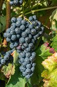 Close Up Of Berries And Leaves Of Grape-vine. Single Bunch Of Ripe Red Wine Grapes Hanging On A Vine poster