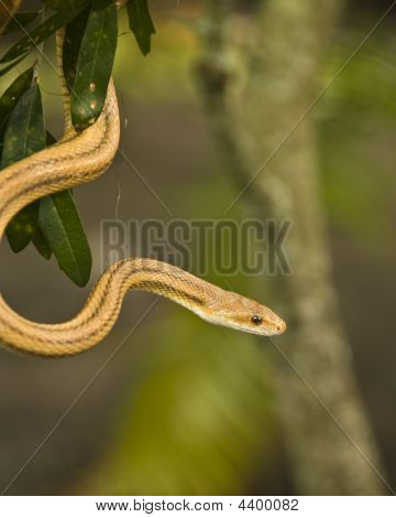 Snake Hanging From A Tree