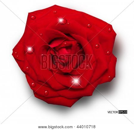 Vector red rose with water drops isolated on white background