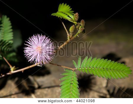 Mimosa Pudica In Sunlight And Shadow