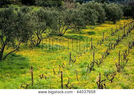 Olive Trees In Vineyard Covered With Yellow Dandelion Flowers