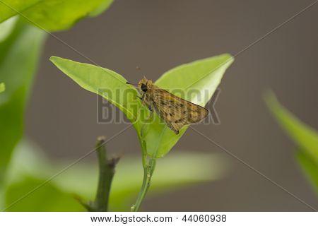 Moth on citrus leaf