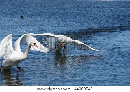 Swan In Movement