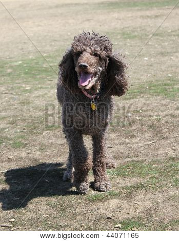 Brown standard poodle