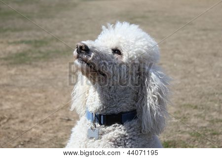 White poodle looking up
