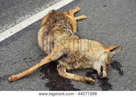 Unfortunate Coyote