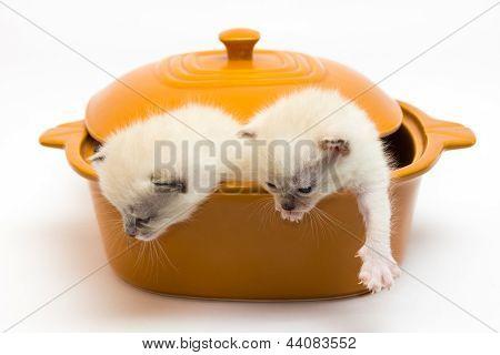 Gatinhos em um pote