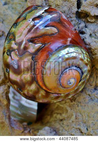 Concha de caracol de mar