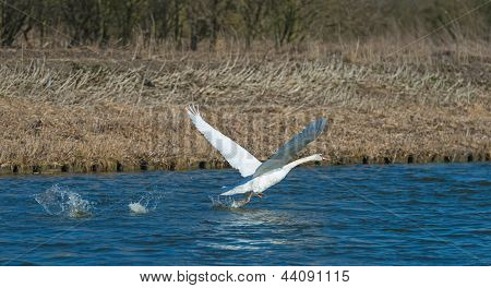 Swan flying over a canal in spring