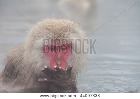 Japanese snow monkey eating