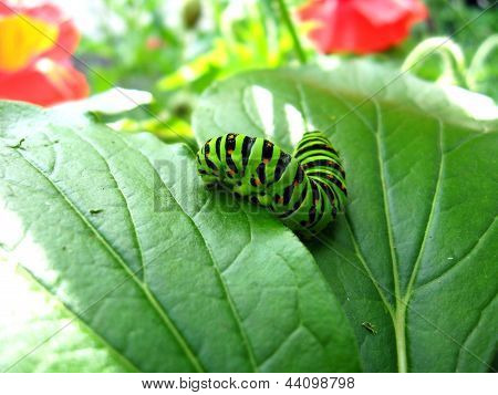 larva of the butterfly machaon on the leaf